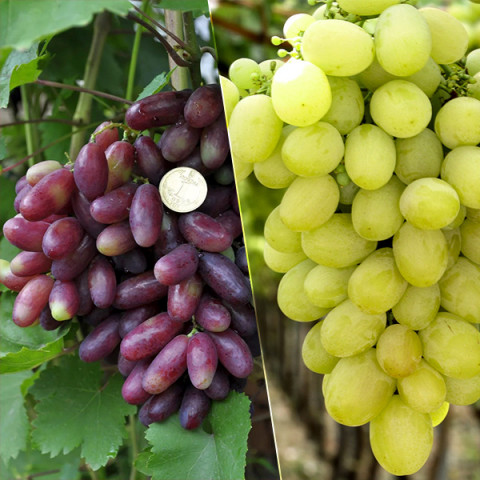 Комплект садженцев винограда Изюминка