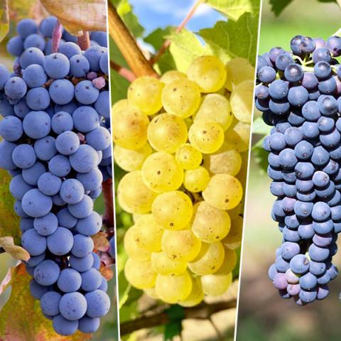 Комплект саженцев винограда Винный букет