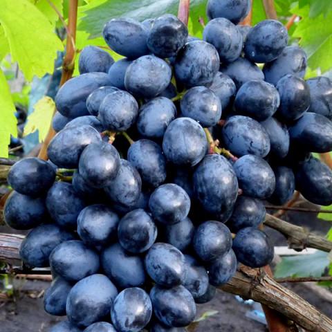 Виноград кишмиш Осенний Королевский