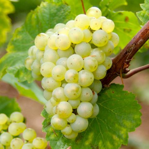 Виноград Рислинг винный