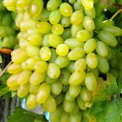 Виноград кишмиш (сорти без насіння)