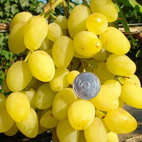 Виноград Супер Екстра (контейнер 2 л)
