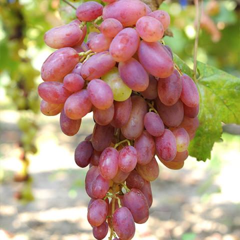 Виноград Виктор