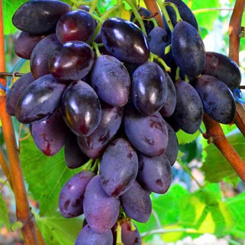 Виноград Блек Грант