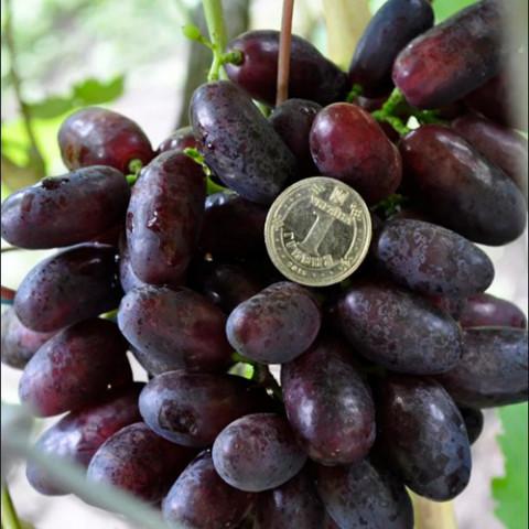 Виноград Ізюминка