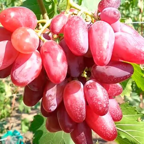 Виноград Клеопатра