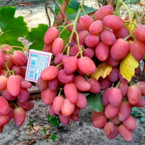 Виноград Ксенія (Анжеліка)