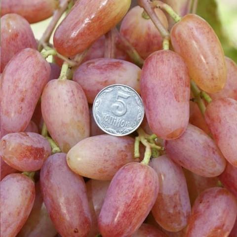 Виноград Віктор