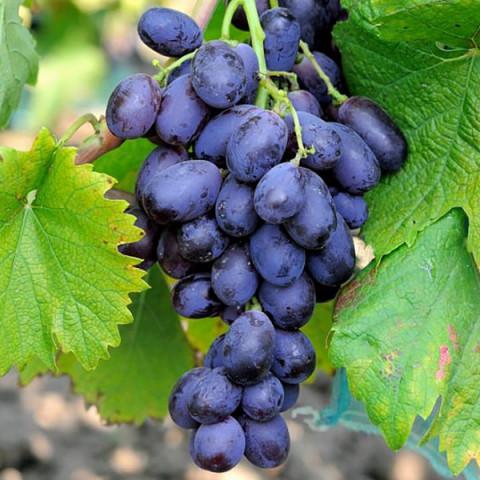 Виноград Виолетта