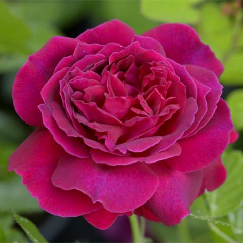 Троянда Альфред Коломб (Alfred Colomb)