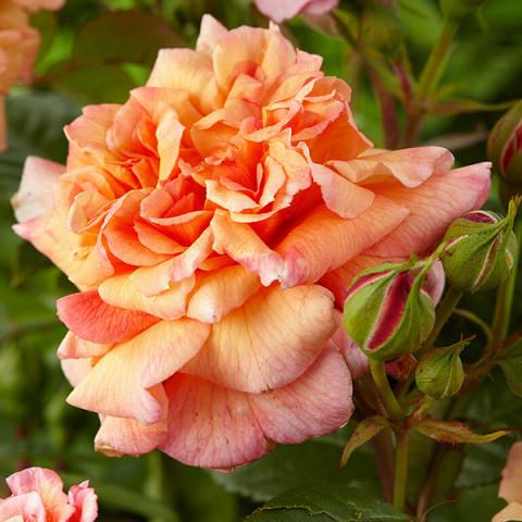 Троянда Алоха (Aloha)
