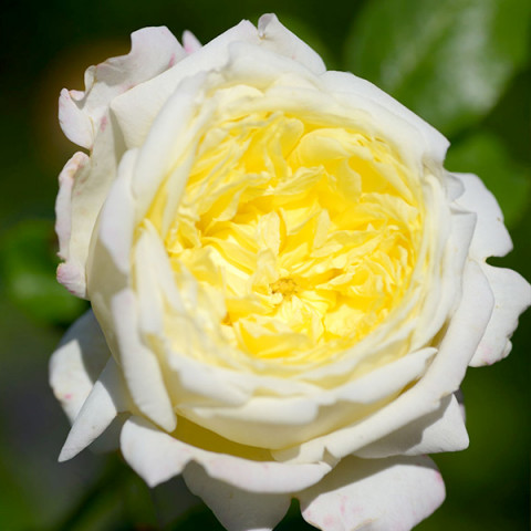 Троянда Амнесті Інтернешнл (Amnesty International)