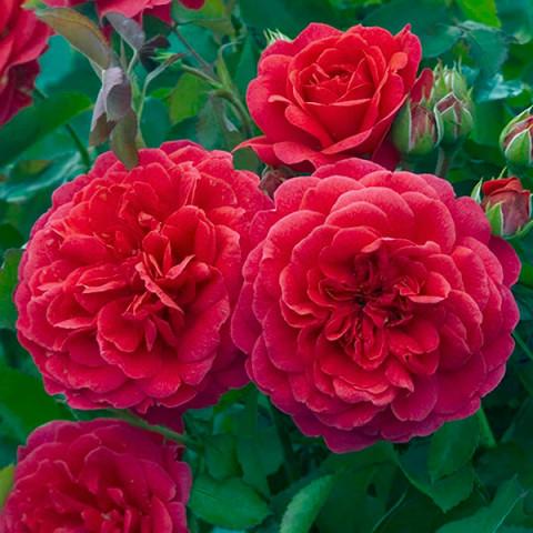 Роза Король Артур (King Arthur)