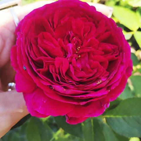 Роза Мунстед Вуд (Munstead Wood)