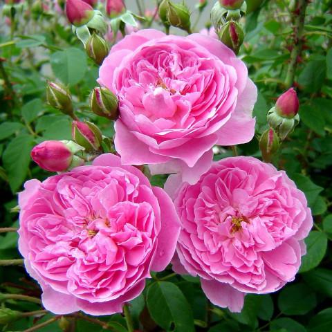 Троянда Мерлін (Merlin)