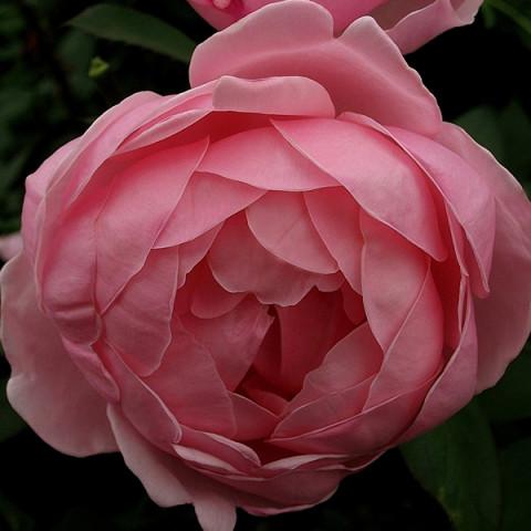 Троянда Бразе Кадфаель (Brother Cadfael)