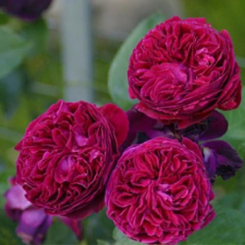 Роза Фальстаф (Falstaff)