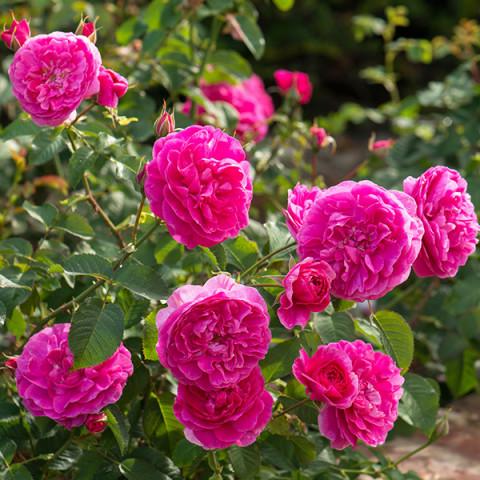 Роза Сладкий поцелуй (Sweet Kiss)