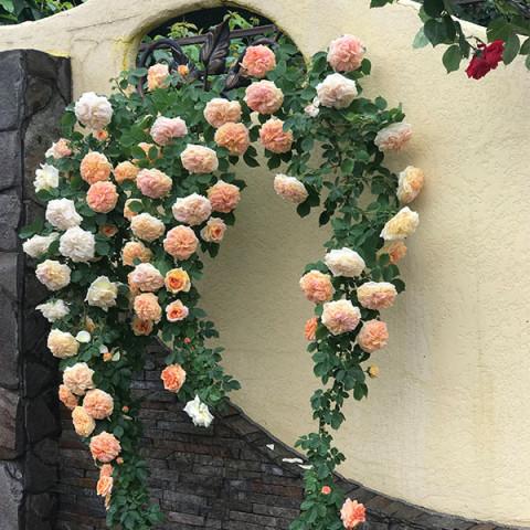 Роза Нежность (Subtlety) new