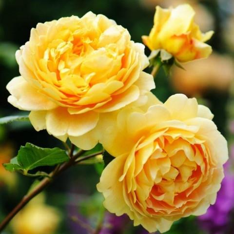 Роза Golden Celebration (Голден Селебрейшн)