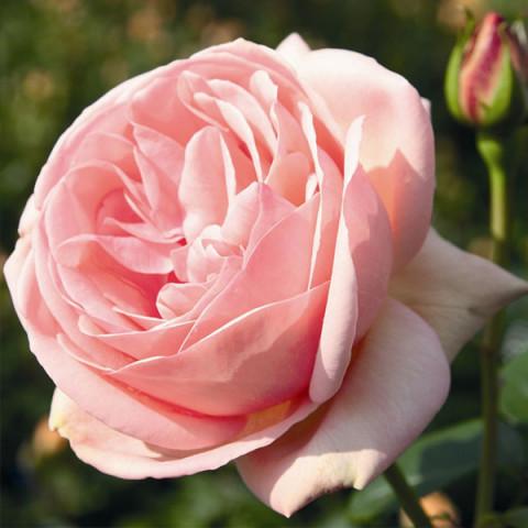 Роза  Афродита (Aphrodite)