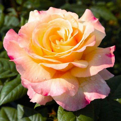 Роза Акварель (Aquarell)