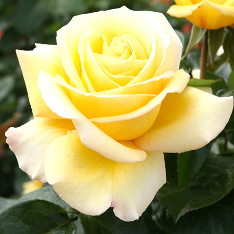 Роза Авек Амор (Avec Amour)