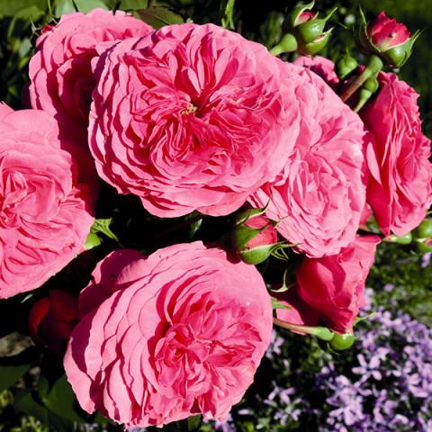 Троянда Баронеса (Baronesse)