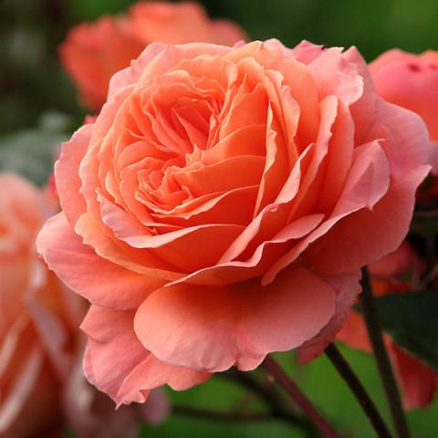 Роза Бельведер (Belvedere)