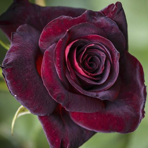 Троянда Блек Леді (Black Lady)
