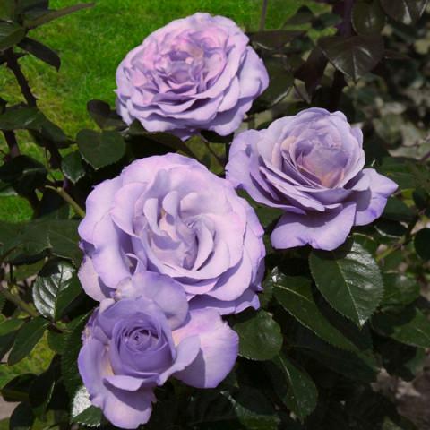 Троянда Блю Гьорл (Blue Girl)