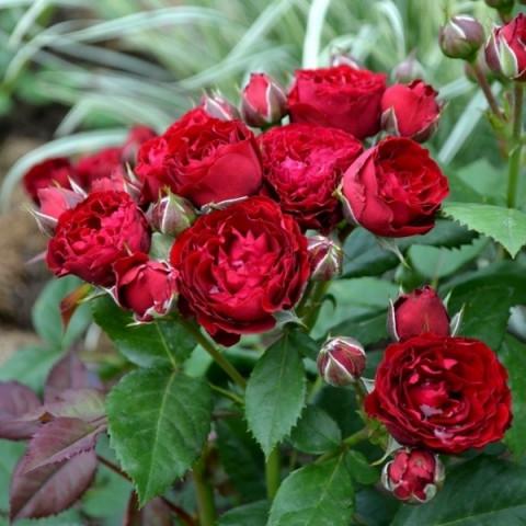 Роза Ред Сенсейшен (Red Sensation)