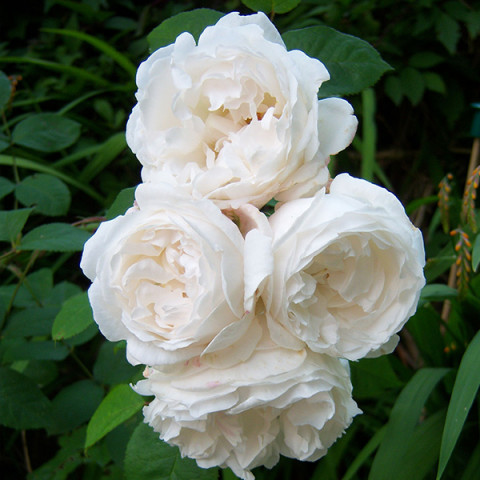 Троянда Буль Де Неж (Boule de Neige)