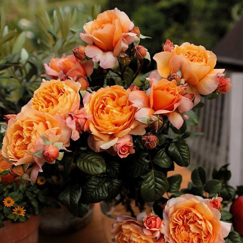 Роза Капри (Capri)