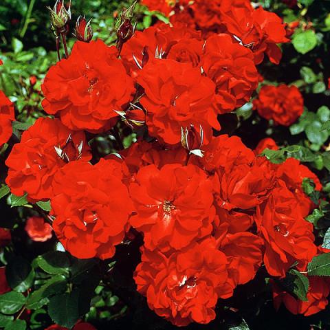 Роза Кастелла (Castella)
