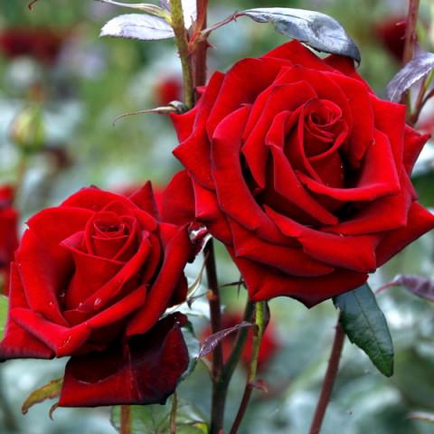 Роза Блек Мейджик (Black Magic)