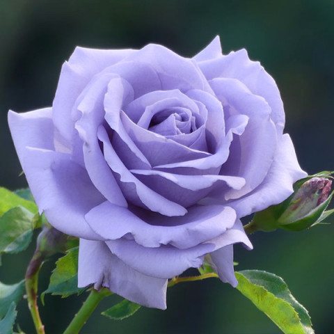 Роза Голубой Нил (Blue Nile)