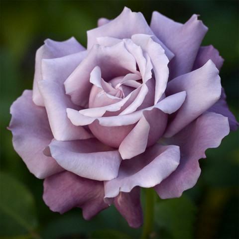 Роза Голубая Королева (Blue Queen)