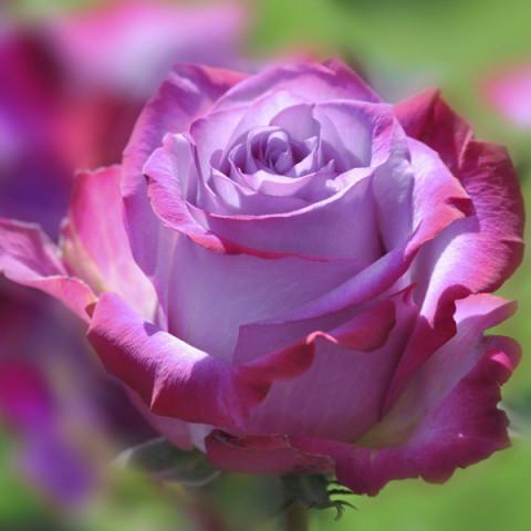 Роза Блю Рива (Blue River)