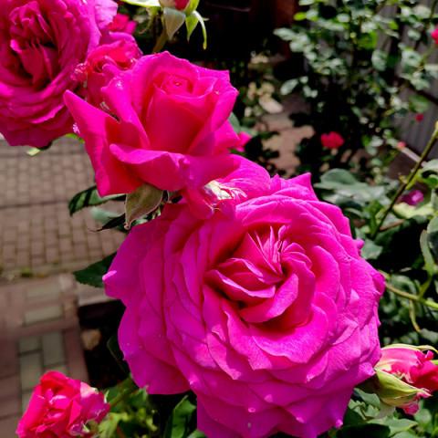 Троянда Юріанда(Yrianda)