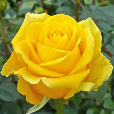Роза Керн (Kern) штамб