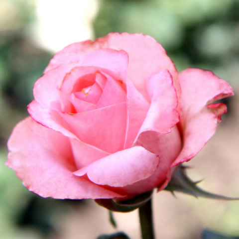 Роза Ленни (Lenny)