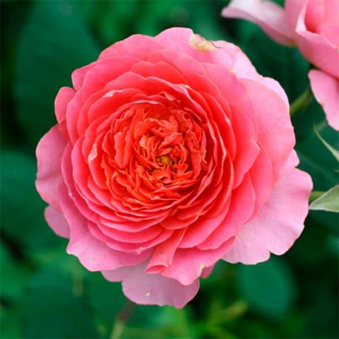 Троянда Амандін Шанель (Amandine Chanel)