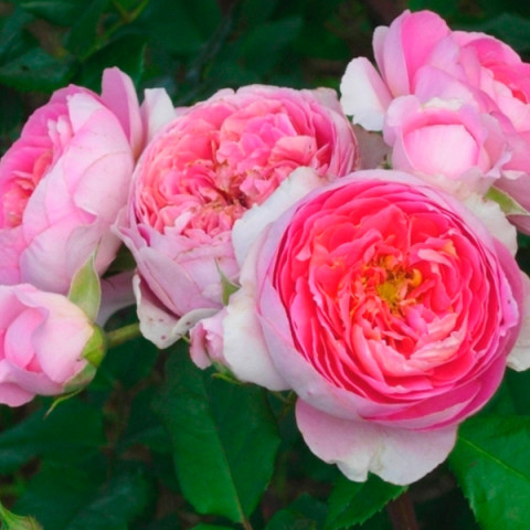 Роза Амандин Шанель (Amandine Chanel)