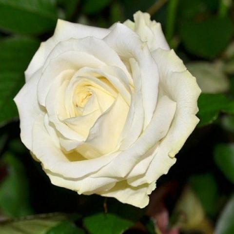 Троянда Аваланж (Avalanche)
