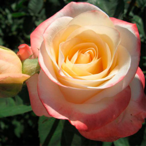 Троянда Белла Перла (Belle Perle)