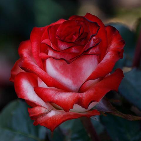 Троянда Блаш (Blush)