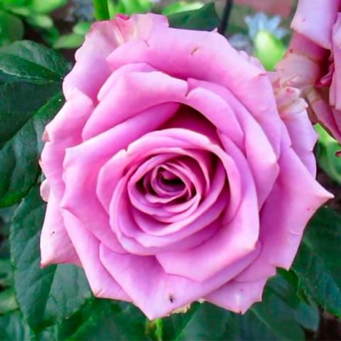 Троянда Кул Вотер (Cool Water)