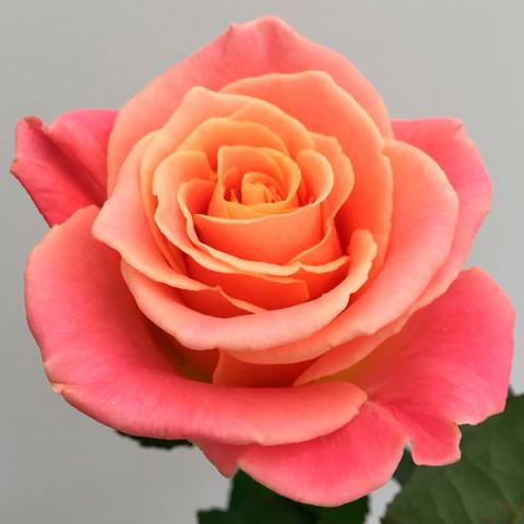 Троянда Єва (Eva)