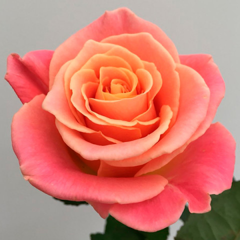 Роза Ева (Eva) (контейнер 3 л)